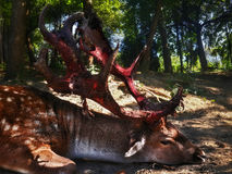 Hjortar med stora blodade ner horn på kronhjort som lägger på jordsikten från ri royaltyfria bilder