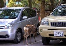 Hjortar mellan parkerade bilar i parkeringsplatsen Royaltyfri Foto