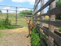 Hjortar nära staketet och buskarna Royaltyfri Bild