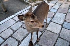 hjortar nara Fotografering för Bildbyråer