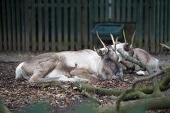 Hjortar Nordliga hjortar är i ängen Fotografering för Bildbyråer