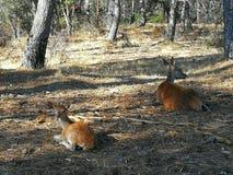Hjortar och Bambi Fotografering för Bildbyråer