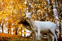 Hjortar och fullvuxen hankronhjort i guld- ljus Royaltyfri Bild