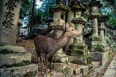Hjortar och lyktor i Nara royaltyfria foton