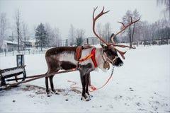 Hjortar och pulka i Finland royaltyfri foto
