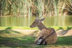Hjortar på bristen Royaltyfria Bilder
