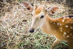 Hjortar på den exotiska zoo för guldgruva i Thailand Arkivbild