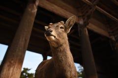 Hjortar på den Todaiji templet Royaltyfri Fotografi
