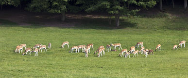 Hjortar på kanten av träna Arkivbild