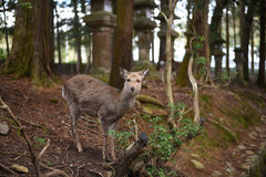 Hjortar på Nara Park Royaltyfria Bilder