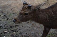 Hjortar på Nara Park Japan Arkivbild