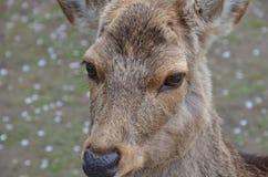 Hjortar på Nara Park Japan Royaltyfri Foto
