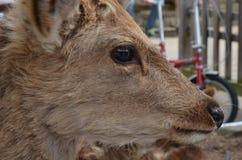 Hjortar på Nara Park Japan Royaltyfri Fotografi