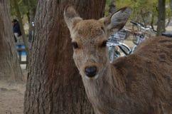 Hjortar på Nara Park Japan Royaltyfri Bild