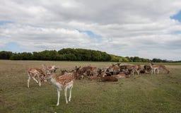 Hjortar på Phoenix parkerar Fotografering för Bildbyråer