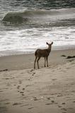 Hjortar på stranden royaltyfri bild