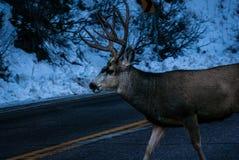 Hjortar på vägen Arkivfoton