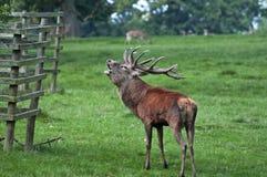 hjortar ready den röda brunstiga fullvuxen hankronhjort Royaltyfri Bild