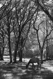 Hjortar som äter gräs Arkivfoto