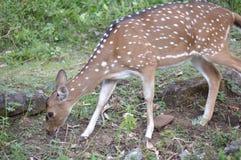 Hjortar som äter gräs Arkivbild