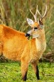 hjortar som äter marshen Arkivbilder