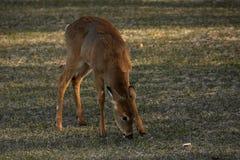 hjortar som äter whitetailbarn Royaltyfri Bild