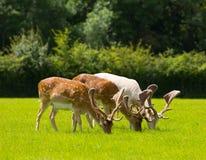 Hjortar som betar med horn på kronhjort nya Forest England UK i ett fält i sommar Arkivfoto