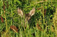 Hjortar som döljas i gräset Arkivbilder