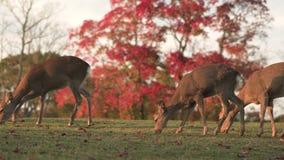 Hjortar som fritt betar och strövar omkring i Nara under höst Kvinnlig i ramen är delen av en enorm flock lager videofilmer