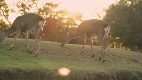 Hjortar som fritt betar och strövar omkring i Nara under höst på en kulle lager videofilmer