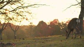 Hjortar som fritt betar och strövar omkring i Nara under höst, röda lönnlöv, ligger bland gräset Skott för Lens signalljuspanna arkivfilmer