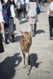 Hjortar som går bland turister i den Todai-ji templet, Nara, Japan Royaltyfri Fotografi