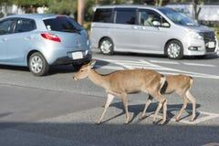 Hjortar som går på gatan i Nara, Japan Arkivfoton