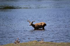 Hjortar som korsar en svullen liten vik Royaltyfri Fotografi