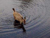 Hjortar som korsar floden royaltyfria foton