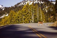 Hjortar som korsar vägen Arkivbilder
