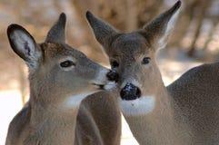 hjortar som kysser två royaltyfri foto