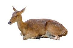 Hjortar som ligger på golvet Behandla som ett barn hjortar som isoleras i vit bakgrund Arkivfoton