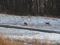 Hjortar som matar i den insnöade sena eftermiddagen royaltyfria foton