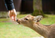 hjortar som matar nara Fotografering för Bildbyråer