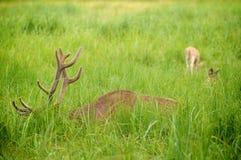 Hjortar som matar på ängen Arkivfoton
