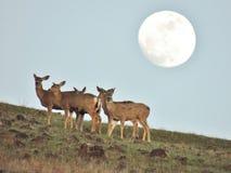 Hjortar som nästan matar vid ljuset av en fullmåne Arkivfoto