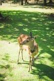 Hjortar som poserar i Nara Royaltyfri Fotografi