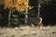 Hjortar som söker efter föda för mat Royaltyfri Foto