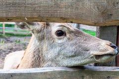Hjortar som ser in i mellanrummet av staketet, closeup Arkivbilder