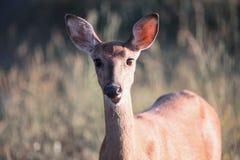 Hjortar som ser kameranärbilden Arkivfoton