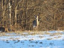 Hjortar som ser mig på aftonen av mars 25 2018 Arkivfoton