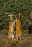 hjortar som slåss röda fullvuxen hankronhjort Royaltyfri Bild