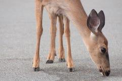 Hjortar som slickar trottoar Fotografering för Bildbyråer