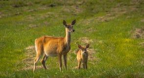 Hjortar som tycker om en sommardag Arkivfoto